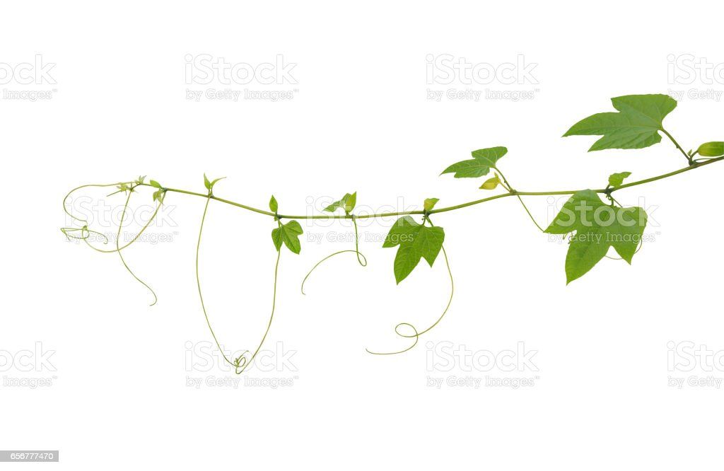 Young palmately green leaves vine with tendrils and budding flowers of spiny bitter gourd or gac fruit isolated on white background, clipping path included. stock photo