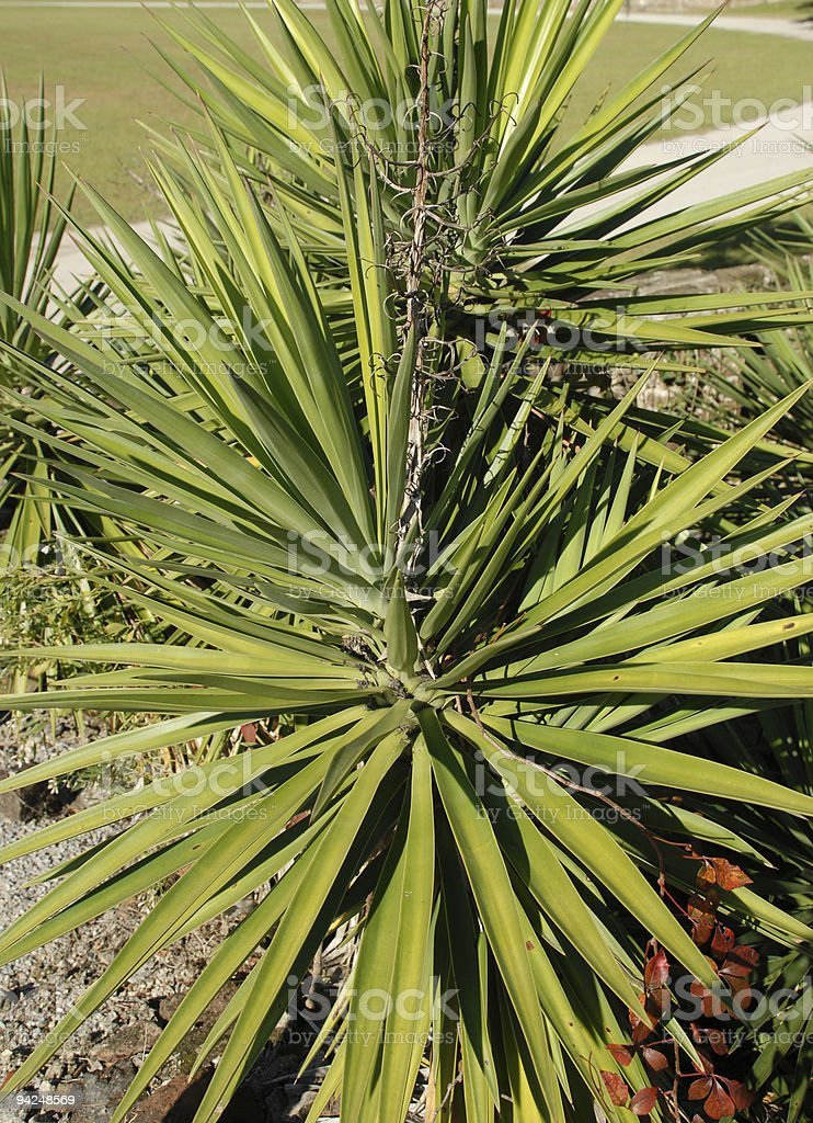 Young palmetto grows at Middleton Place in South Carolina stock photo