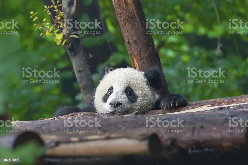 Young panda bear in forest stock photo