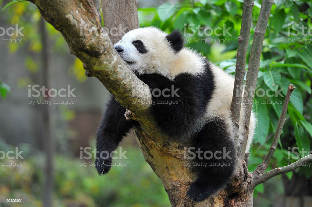 Young panda bear sleeping in tree stock photo