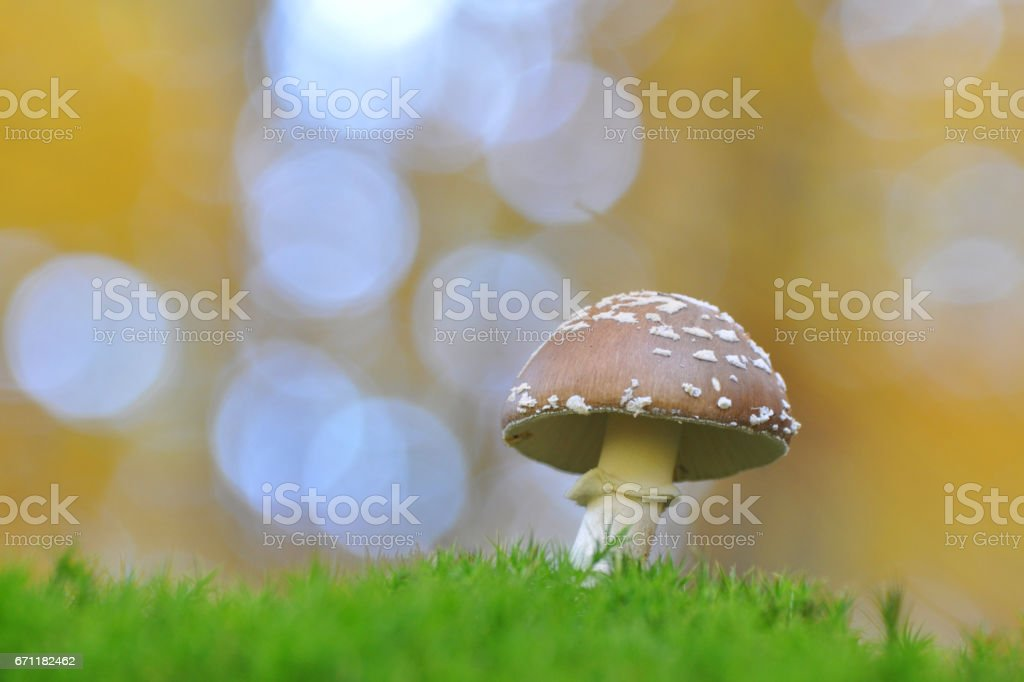 Young panther cap mushroom in the forest. (Amanita pantherina) stock photo