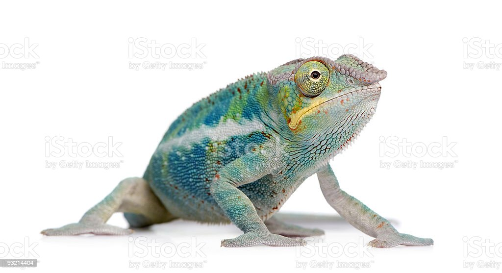Young Panther Chameleon Furcifer Pardalis - Ankify stock photo