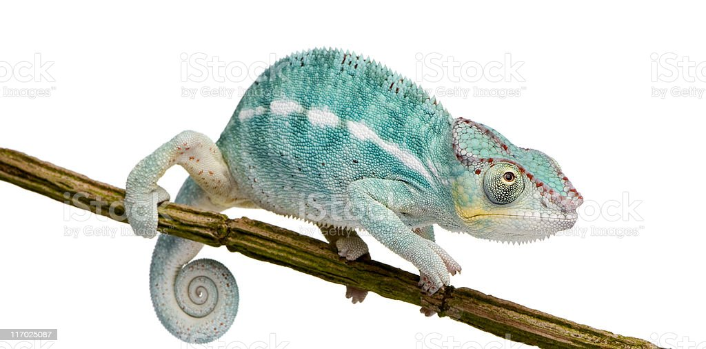 Young Panther Chameleon Furcifer Pardalis - Nosy Be(7 months) stock photo