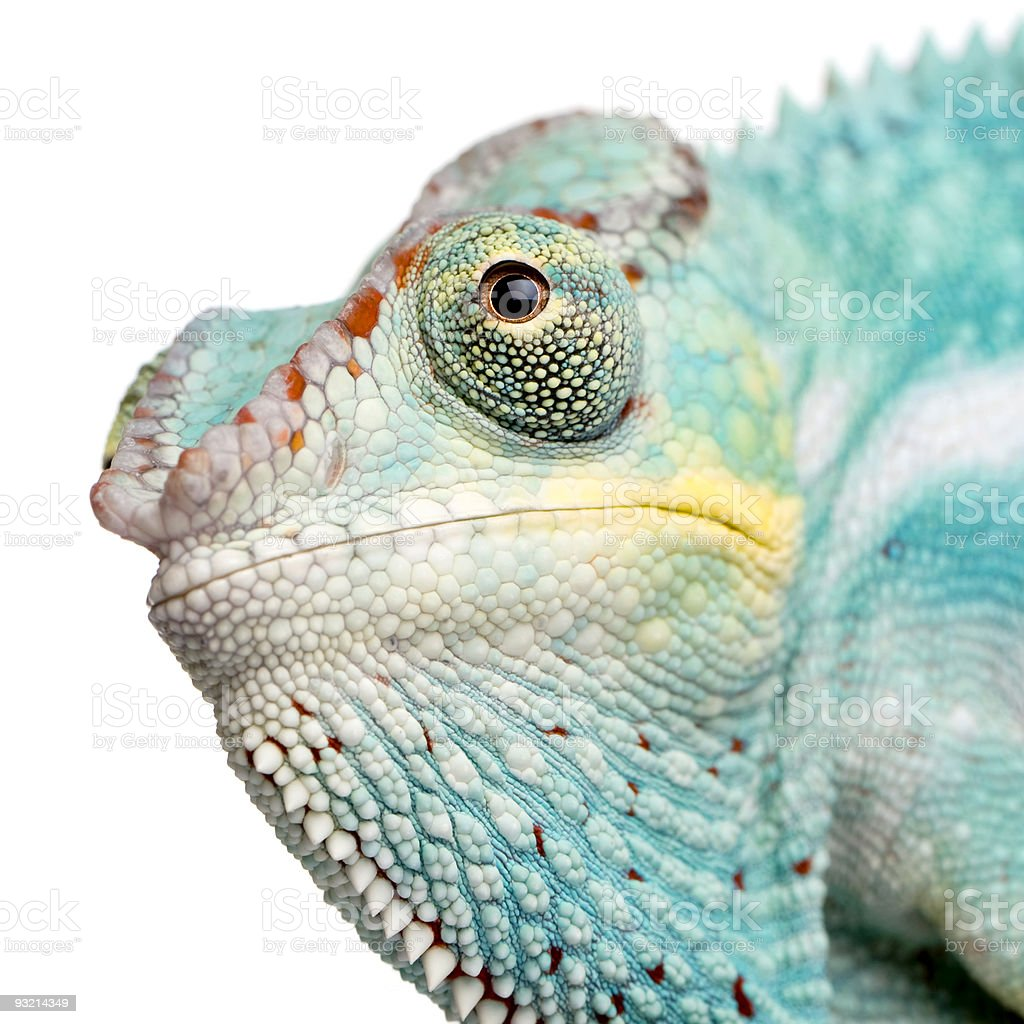 Young Panther Chameleon Furcifer Pardalis - Nosy Be stock photo