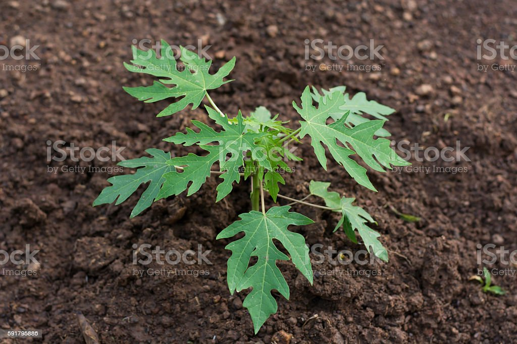 Young papaya tree growing in gardent in thailand. stock photo