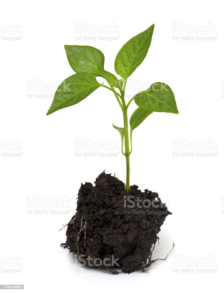 young paprika plant stock photo