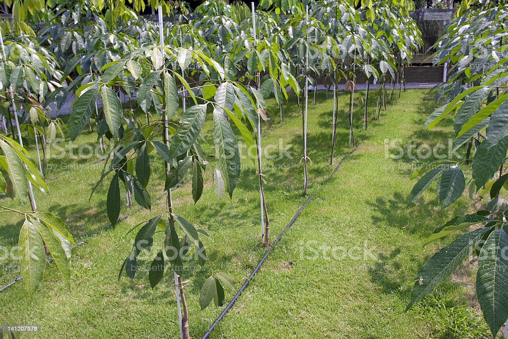Young para rubber tree stock photo