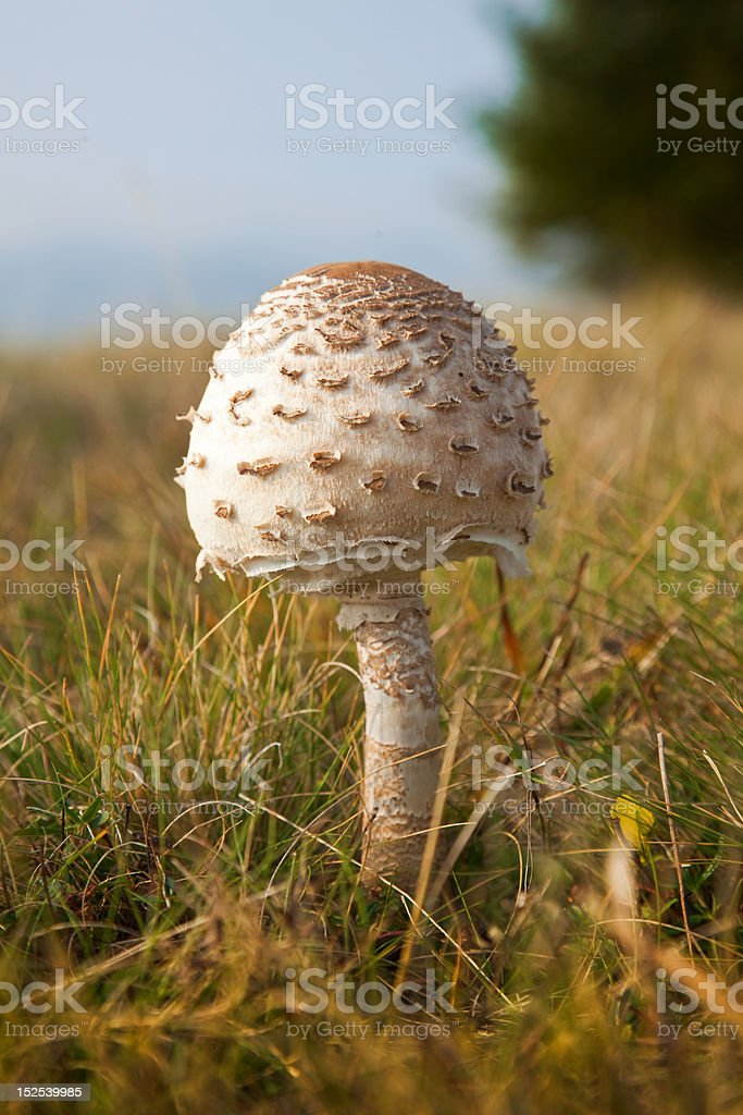 Young parasol mushroom royalty-free stock photo