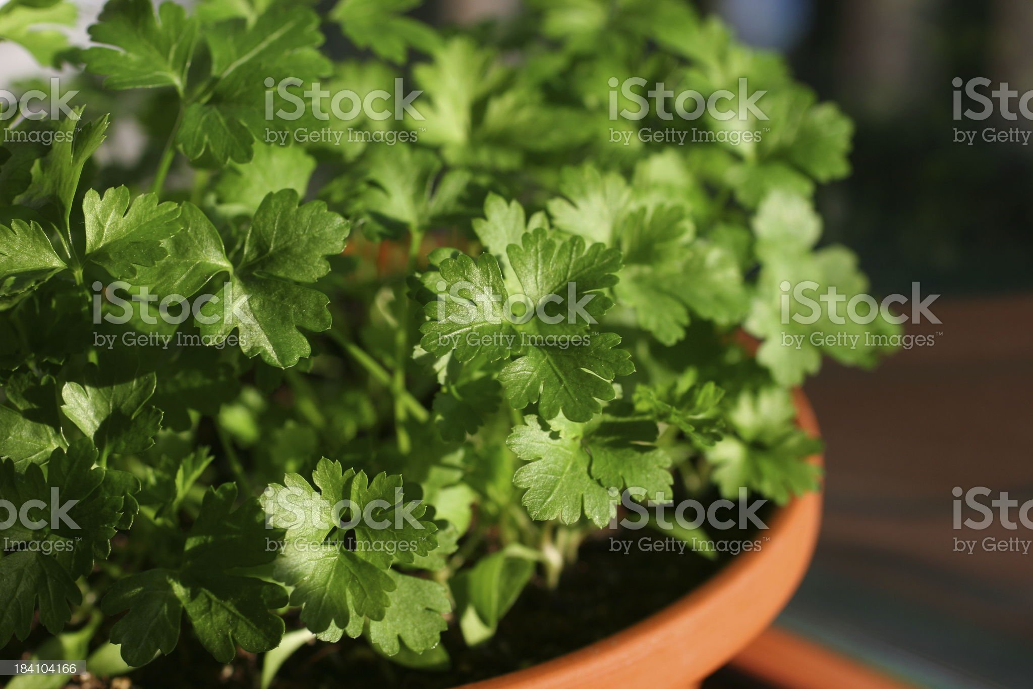 Young Parsley In Clay Pot royalty-free stock photo