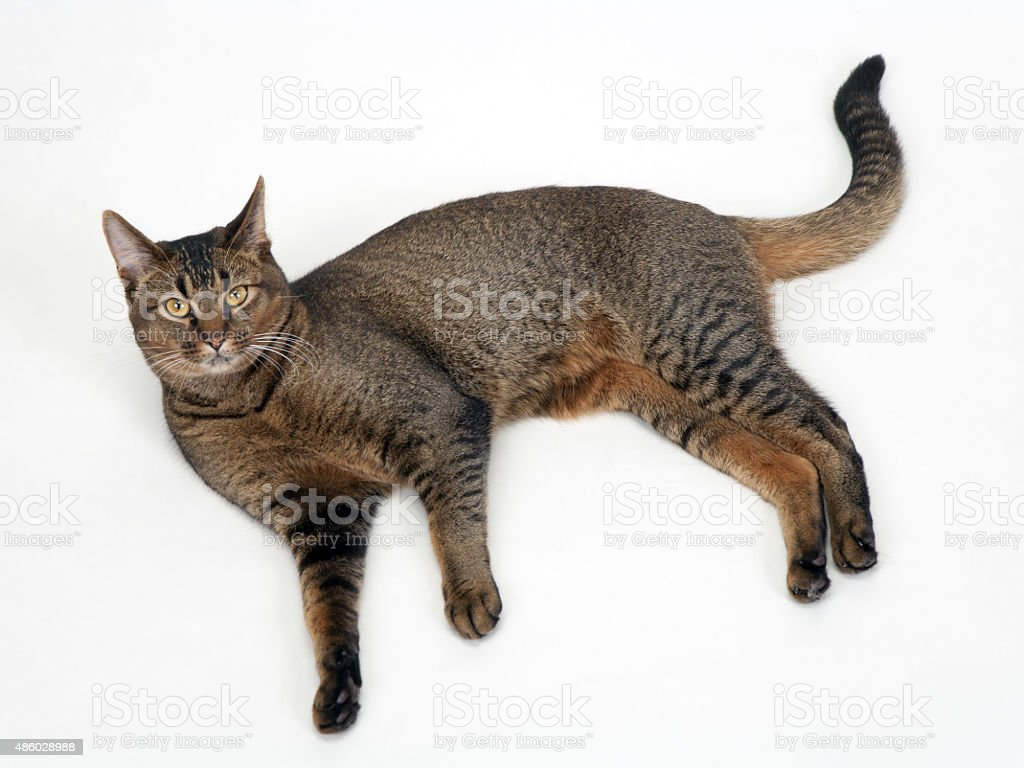 Young part-Abyssininan male cat stock photo