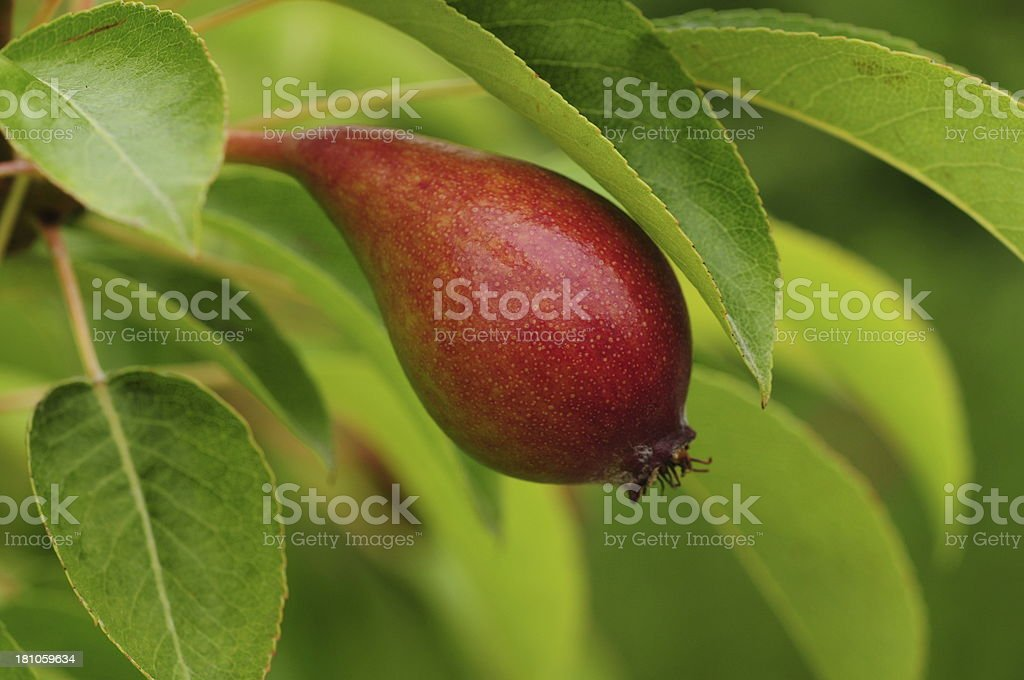 Young Pear, U.K. royalty-free stock photo