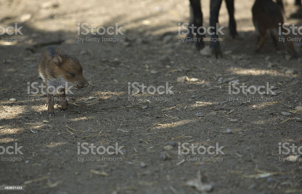 Young peccary stock photo