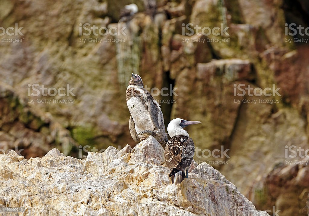 Young Penguin and A Booby on rocks stock photo
