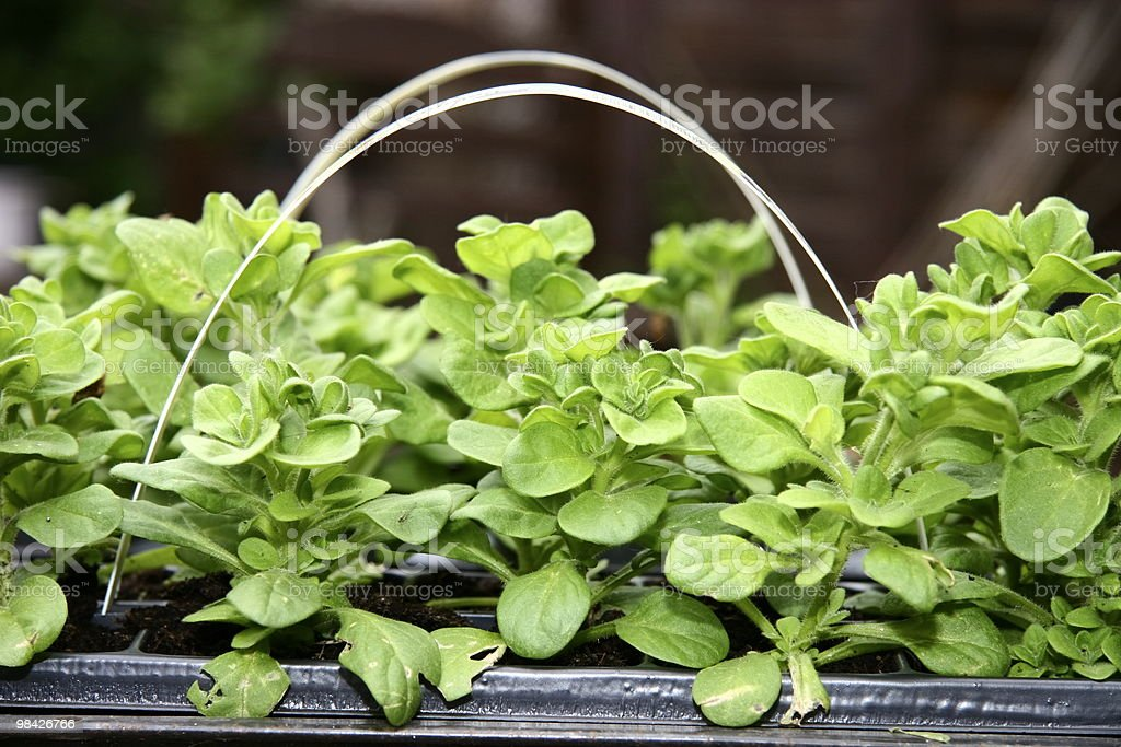 young petunia plants stock photo