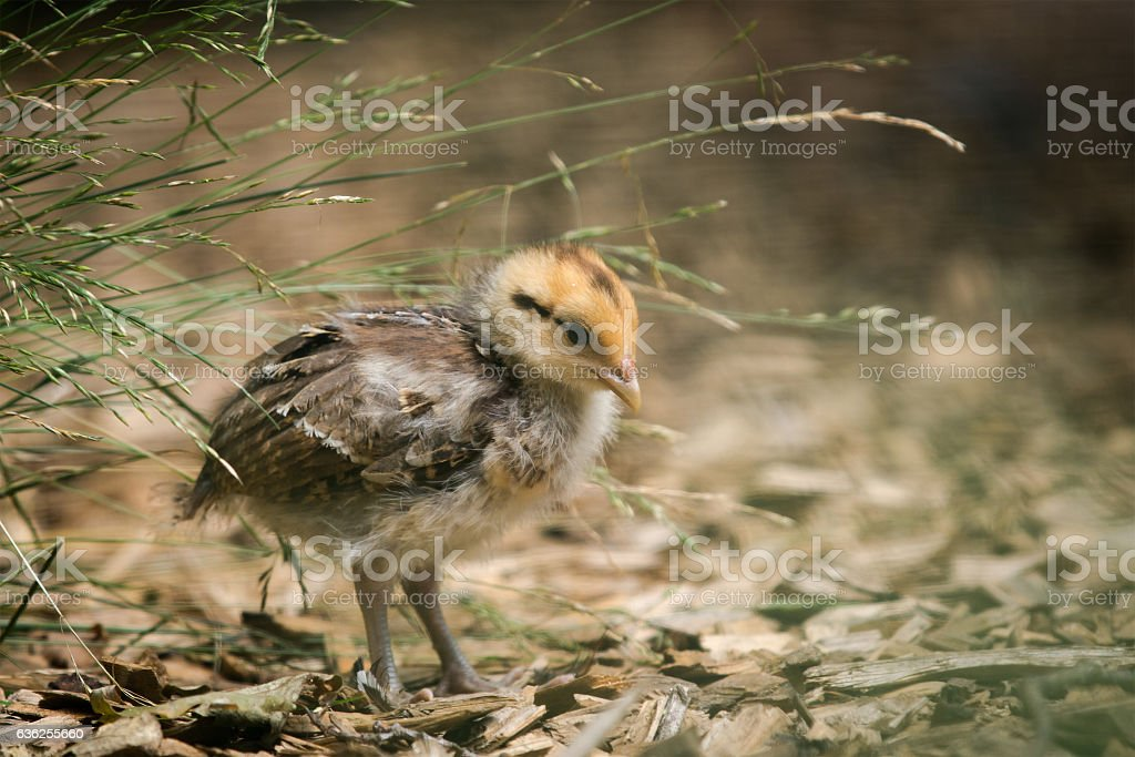 young pheasant stock photo