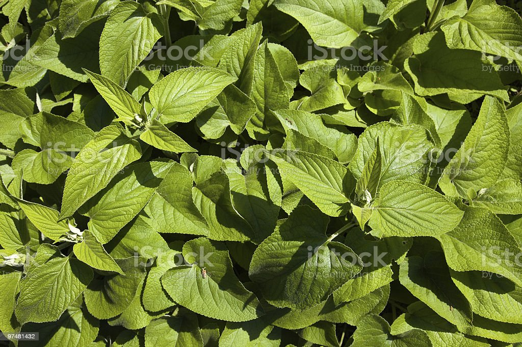 young Phlomis russeliana stock photo