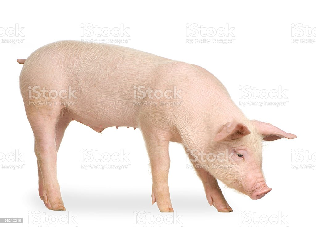 Young pig isolated on a white background royalty-free stock photo