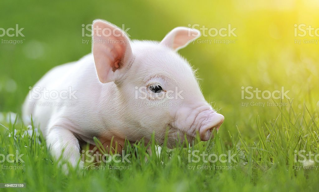 Young pig on a green grass stock photo