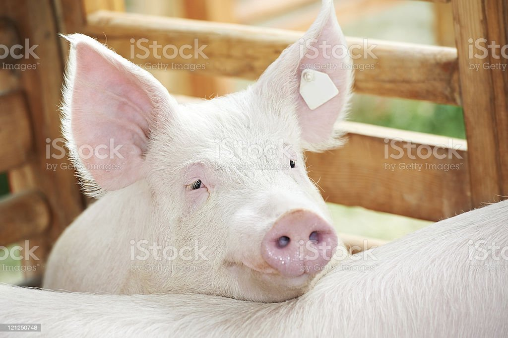 A young pig rests its head in a pen outside royalty-free stock photo