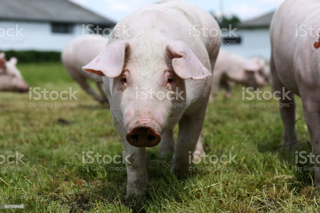Young piglet on green grass meadow at pig breeding farm rural scene stock photo