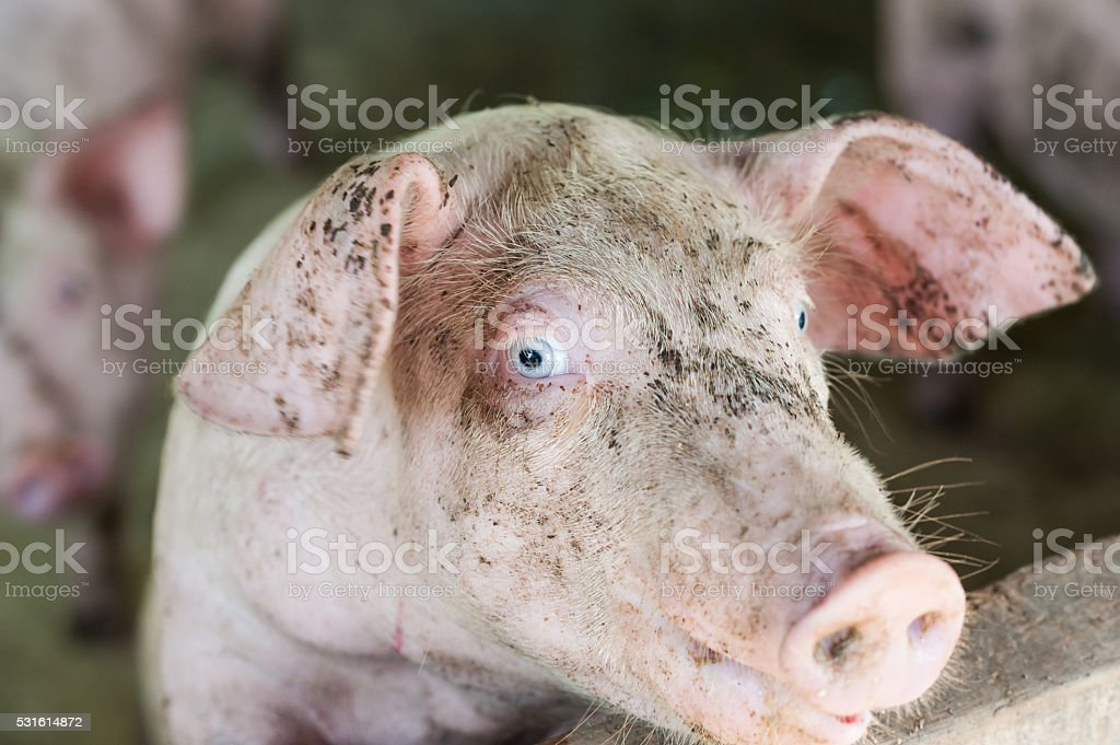 young piglet stock photo