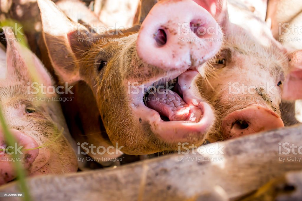 Young pigs on the farm. stock photo