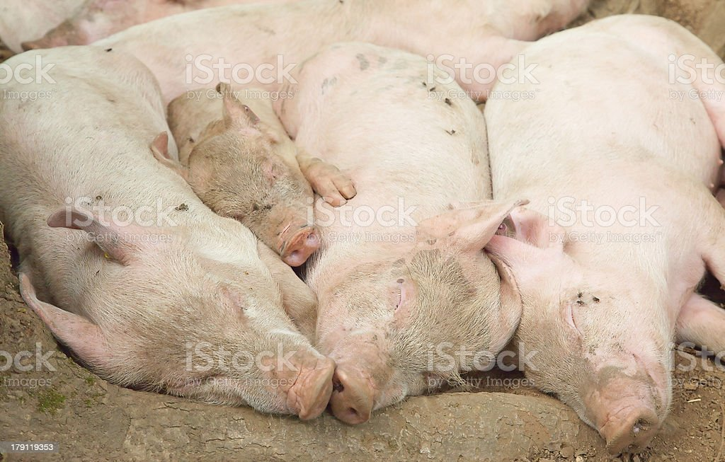 Young pigs royalty-free stock photo