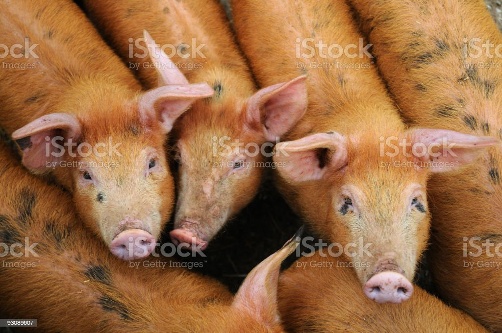 Young Pigs (XL) royalty-free stock photo