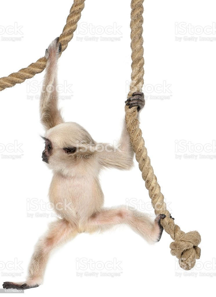 Young Pileated Gibbon, hanging from rope, white background. stock photo