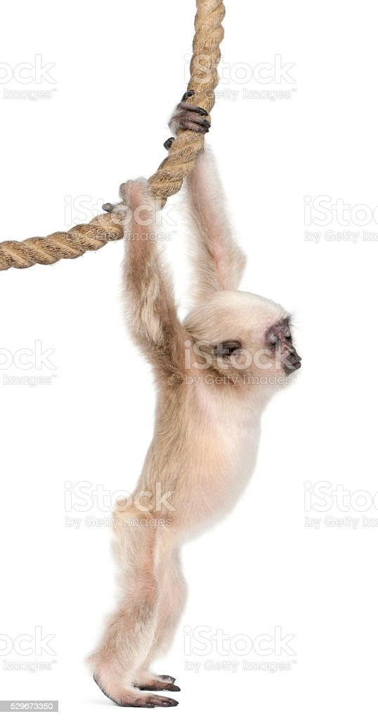 Young Pileated Gibbon Hylobates Pileatus, hanging from rope stock photo