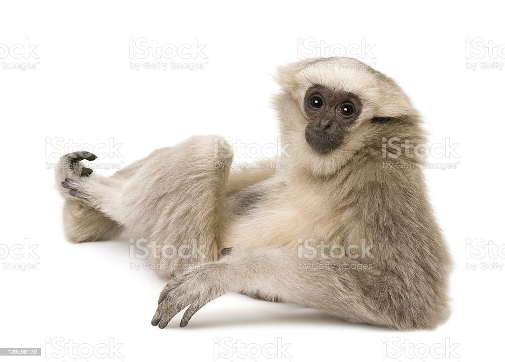 Young Pileated Gibbon, sitting looking over shoulder. stock photo