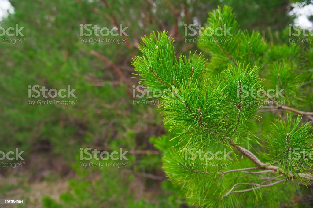 Young pine branch in spring stock photo