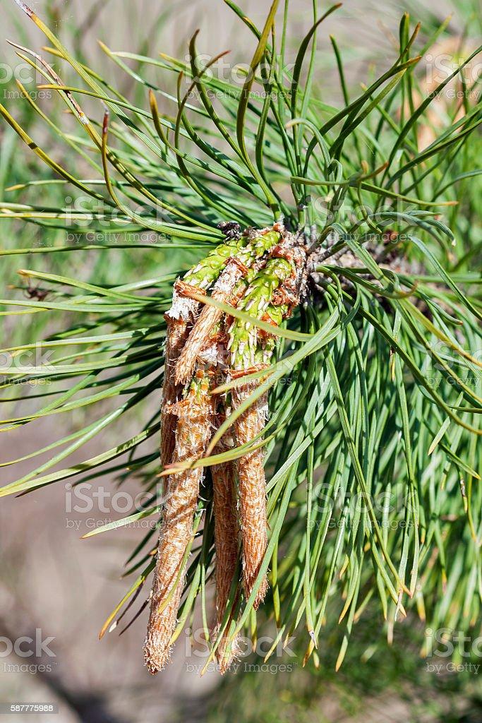 young pine closeup stock photo