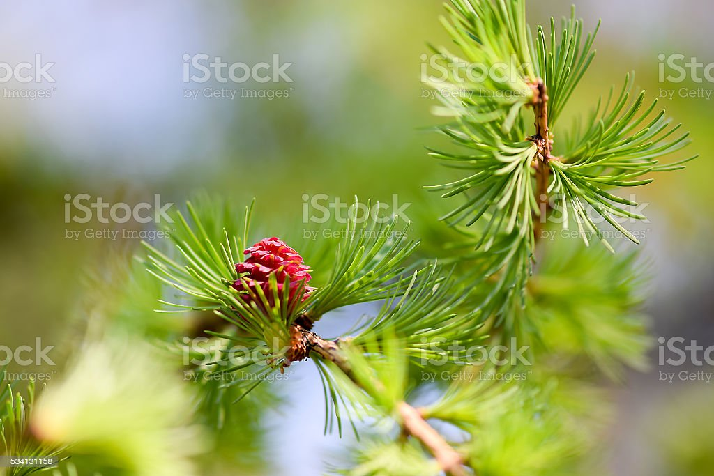 Young pine cone stock photo