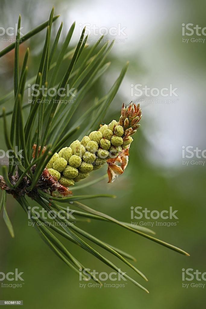 Young pine conelet closeup in spring forest stock photo
