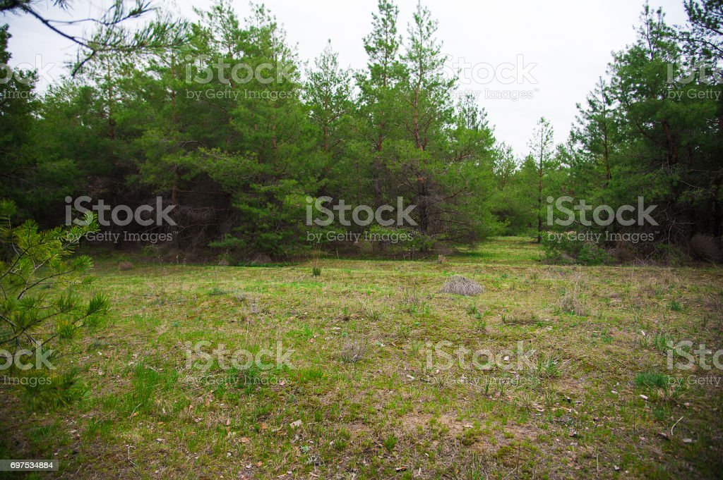 Young pine forest stock photo