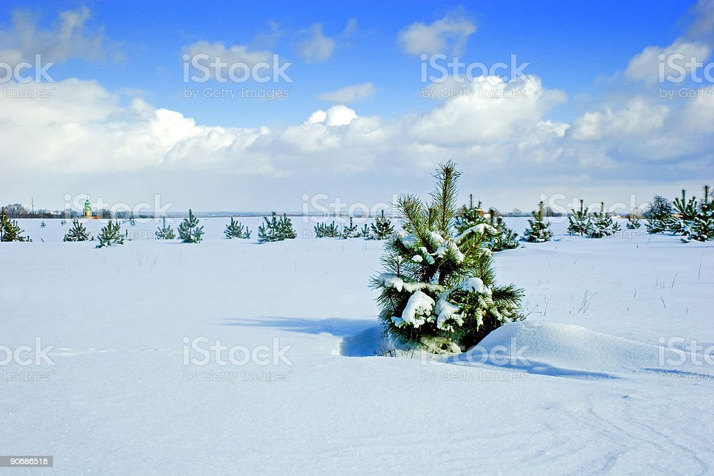 Young pine on snow royalty-free stock photo