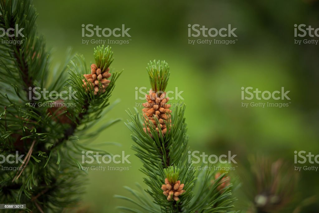 Young pine stock photo