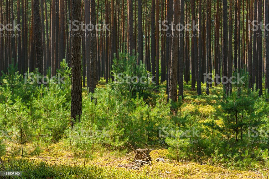 young pine plants in old pine forest stock photo