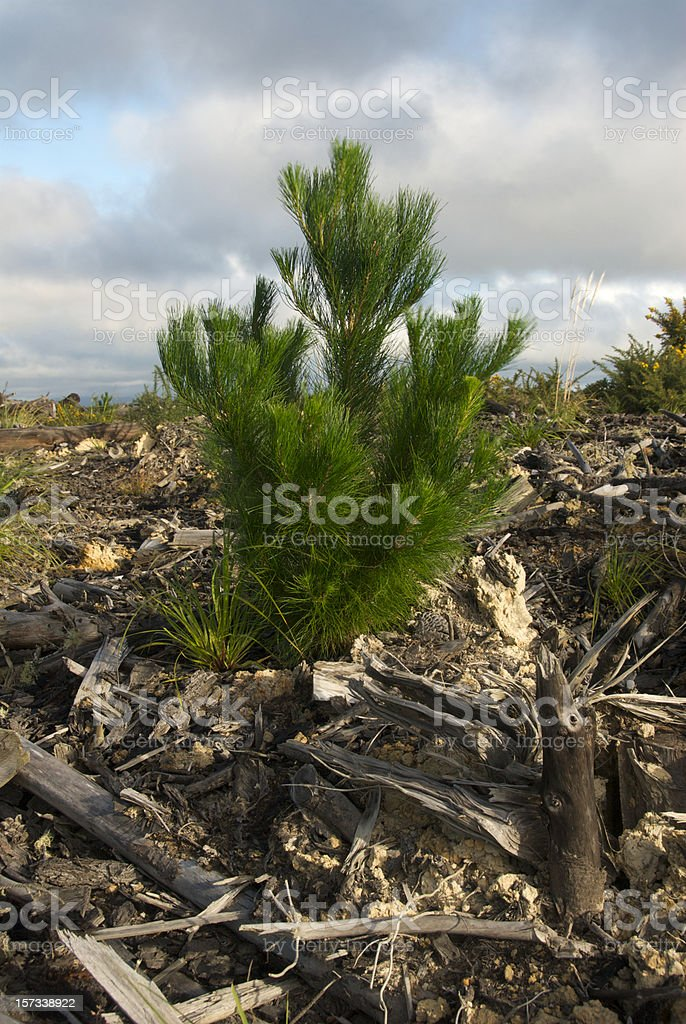 Young Pine tree after logging cut stock photo