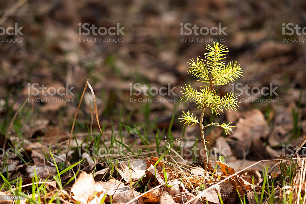 Young pine tree in spring forest stock photo