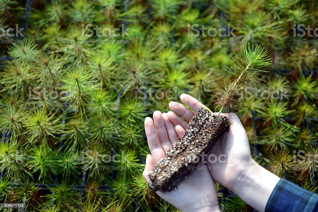 young pine trees in your hands. stock photo