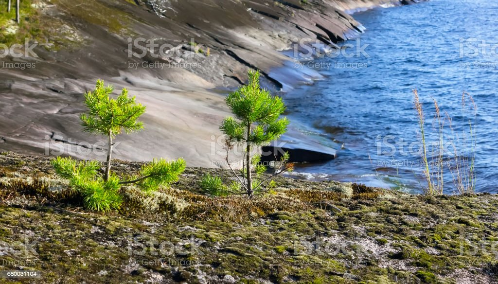 Young Pines On The Rocky Shore stock photo