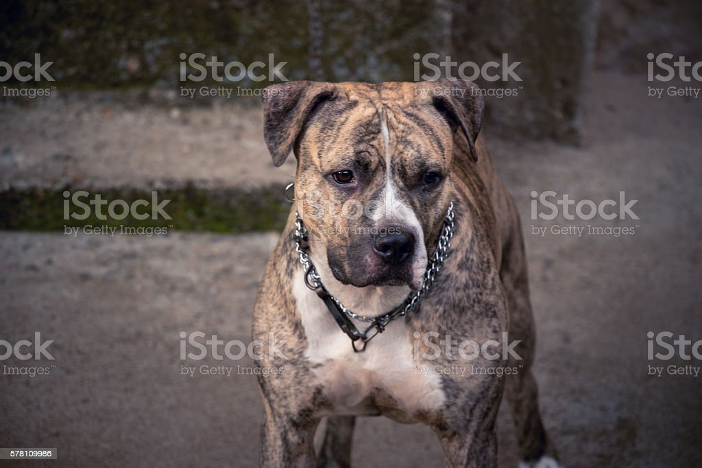 young pit bull terrier in yard in front of house stock photo