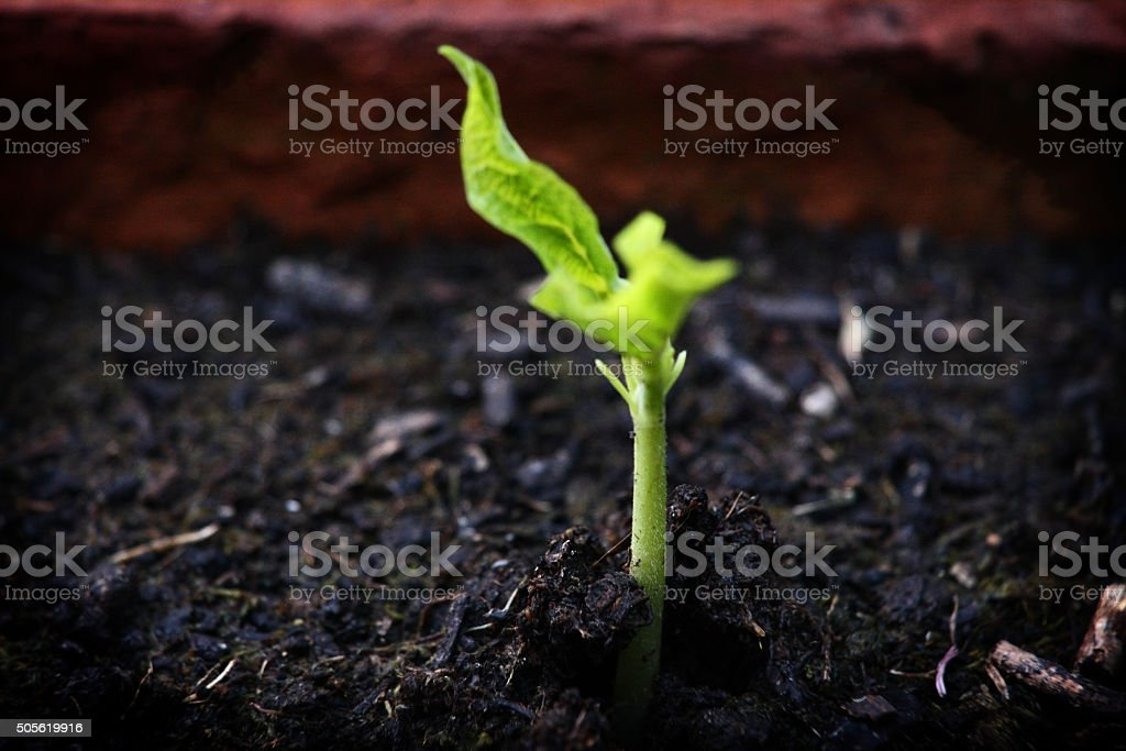 Young plant emerging from soil - landscape stock photo