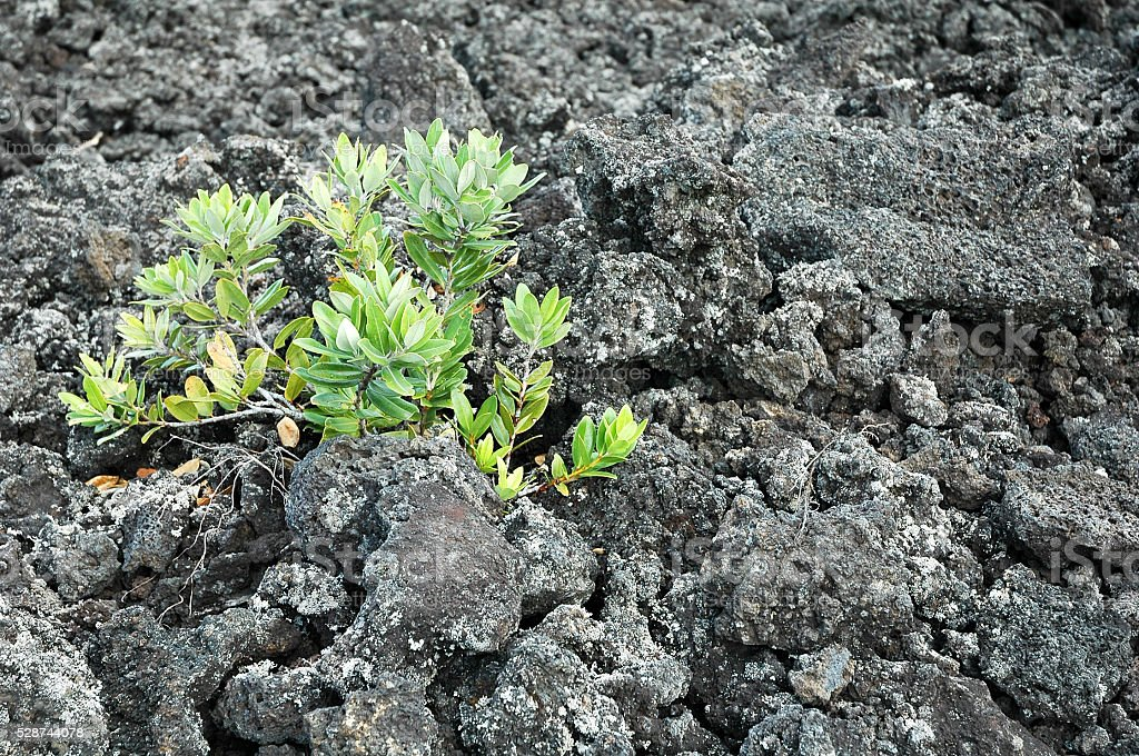 Young plant growing on barren lava rock stock photo