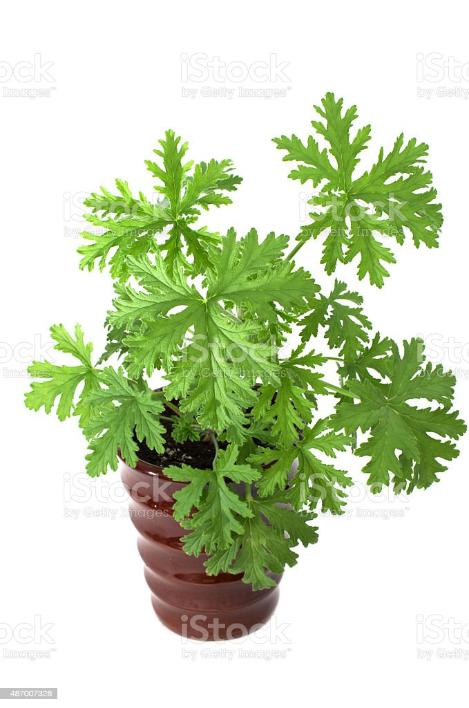 SCENTED GERANIUMS young plant in  brown pot, mosquitoes repellen stock photo