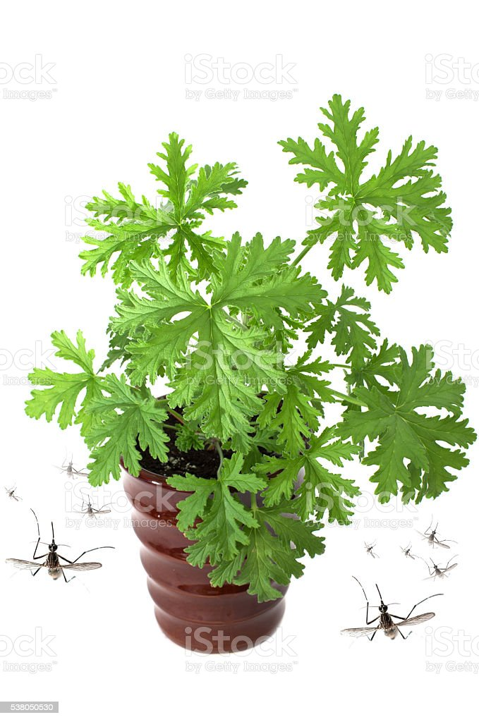 SCENTED GERANIUMS young plant in  brown pot stock photo