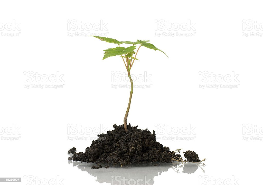 Young plant in dirt royalty-free stock photo