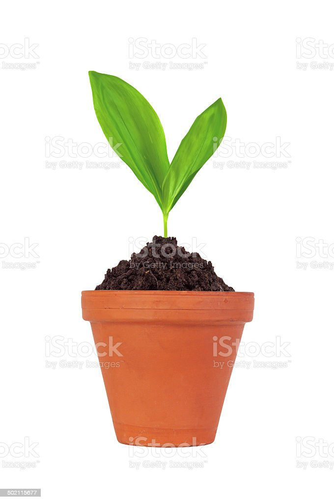Young plant in pot isolated on white background stock photo